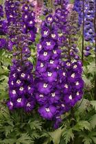 Perennials welcome to aurora nursery the mat su valleys premier delphinium purple passion this striking delphinium produces tall spires of intense purple flowers with purple and white striped centers mightylinksfo