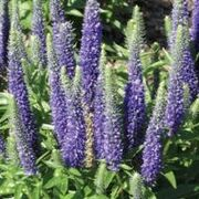 Perennials welcome to aurora nursery the mat su valleys premier sightseeing mixture veronica is a first year flowering perennial which is winter hardy to zone 3 exposure full sun to part shade blooms summer to fall mightylinksfo