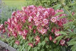 Perennials welcome to aurora nursery the mat su valleys premier large red and white flowers with long spurs are presented above the compact clump of attractive foliage the showy blossoms are upward facing for best mightylinksfo